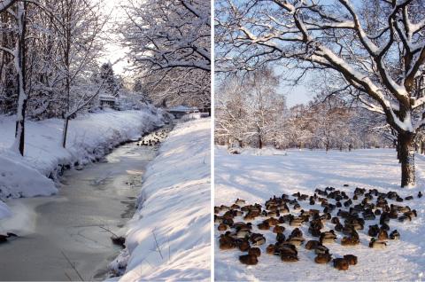 På vinterpromenad i solskenet. Änder solar sig i snön.