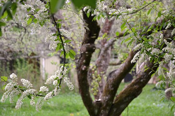Blommande hägg och knotigt äppleträd.